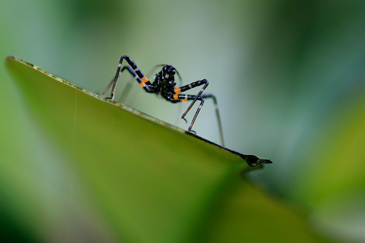 4个显著的大刺。腹部第3节的端角呈刺突状,其他各节的端角呈片叶刺状。雄性的生殖节瑞缘中央呈宽铲状并向外突出。年发生2代。成虫于枯枝落叶及石缝、洞穴中过冬。5月间出蛰,产卵于叶片或树木枝条上。成虫及若虫常栖息于灌木或草丛中、捕食鳞翅目幼虫。系我国南方的猎椿优势种之一,因是益虫,应予保护。